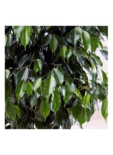 Çiçek Antalya Çiçek Antalya Ficus Benjamin Bitkisi Yeşil